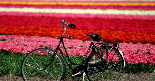 TULIPS AND BICYCLES