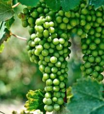 Da questi grappoli ogni anno escono vini conosciuti in tutto il mondo: Barolo, Barbaresco e Asti spumante...